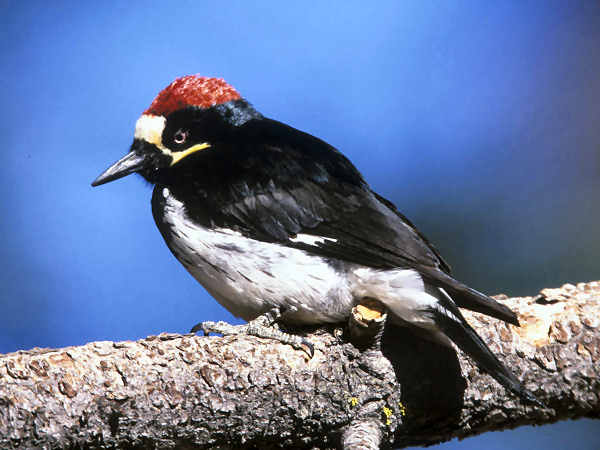picture of an Acorn Woodpecker posing on a tree