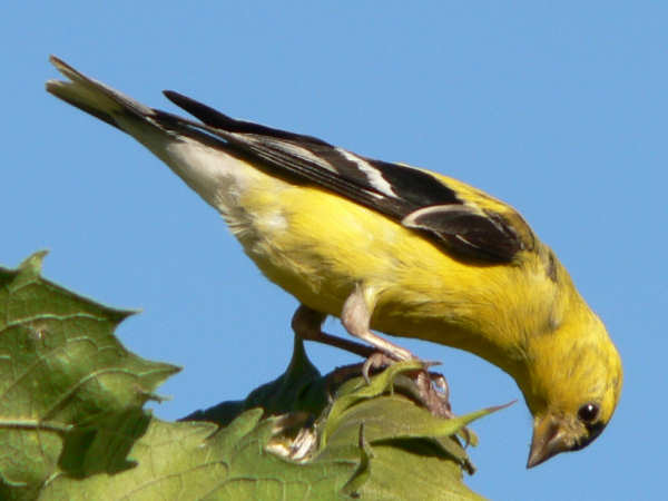 picture of an American Goldfinch, the state bird of New Jersey, and part of the New Jersey birds series