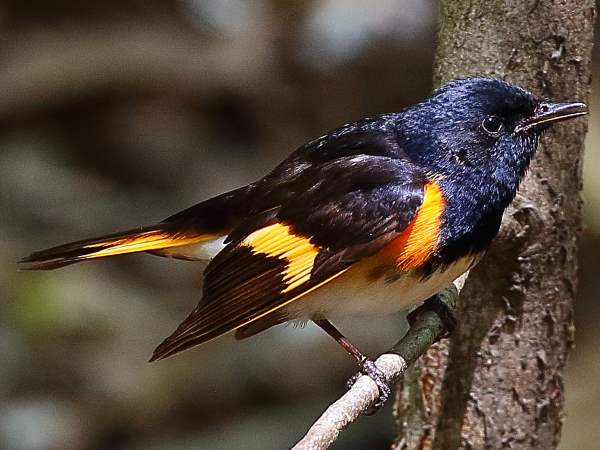 picture of a male American Redstart warbler, New York birds collection