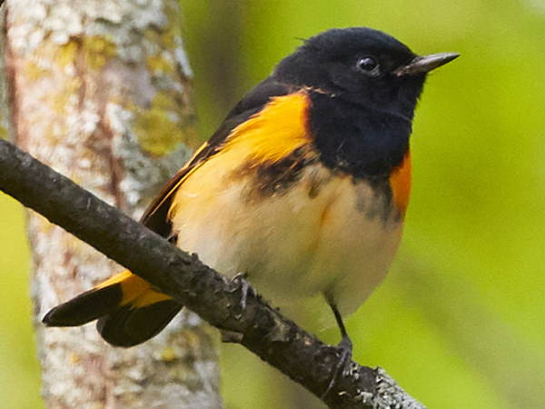 picture of a male American Redstart