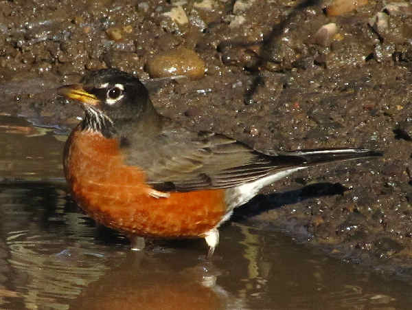 picture of an American Robin, the state bird of Connecticut, and part of the Connecticut birds section