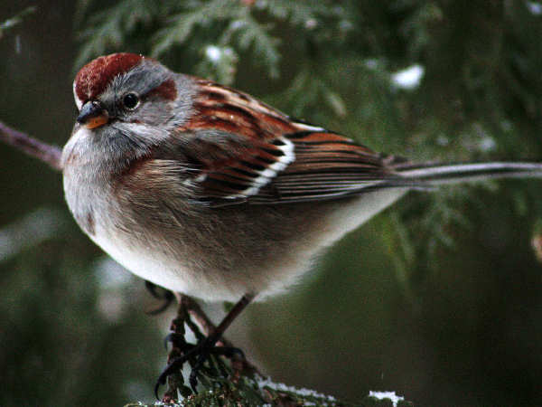 picture of an American tree sparrow