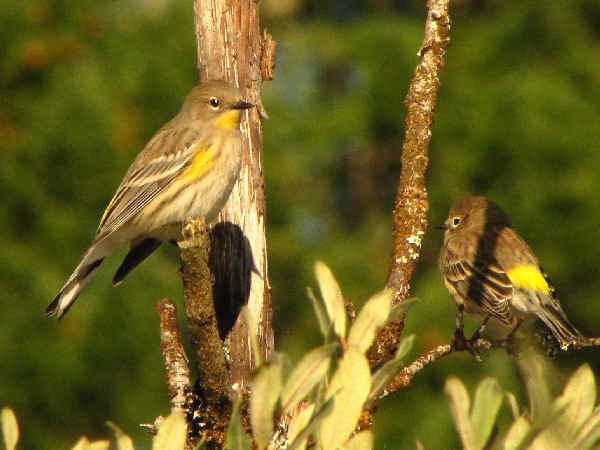 picture of a female Audubons Yellow-rumped warbler