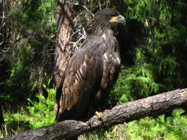 picture of a juvenile bald eagle perching on a branch, part of the Hawk identification series