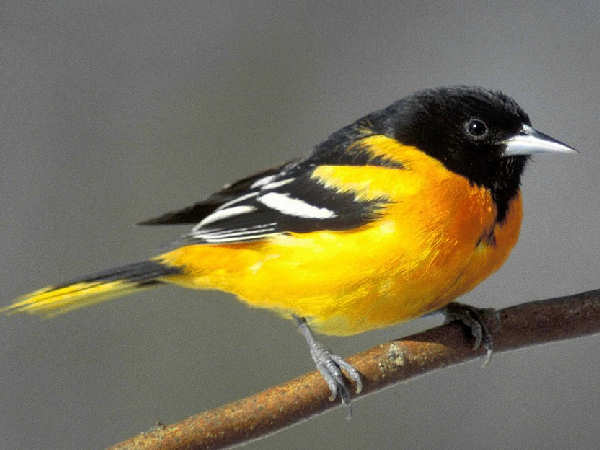 picture of a Baltimore Oriole