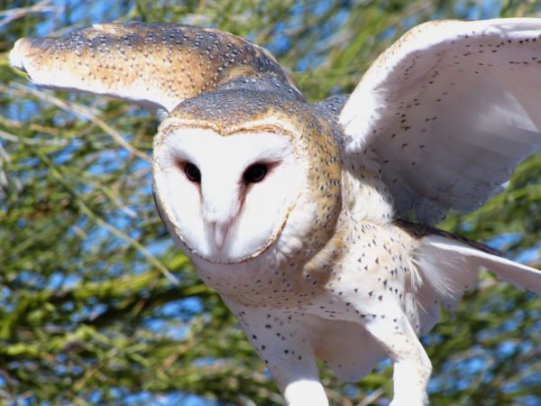 picture of a Barn Owl, part of the Owl pictures and identification guide