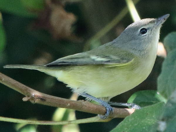 picture of a Bell's Vireo