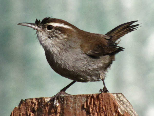 picture of a bewick's wren