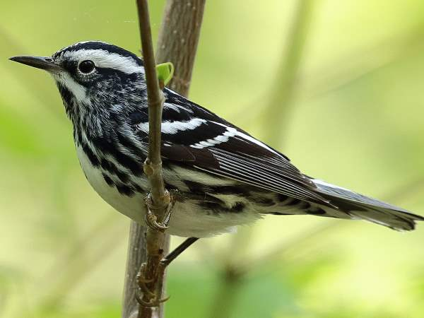 picture of a Black and White Warbler, New York Birds