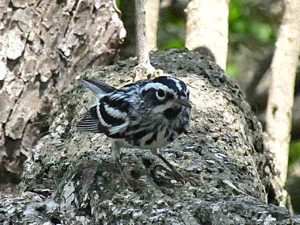 picture of a black and white warbler