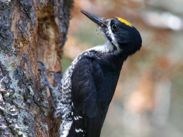 picture of a Black-backed Woodpecker, one of the less common Massachusetts woodpeckers