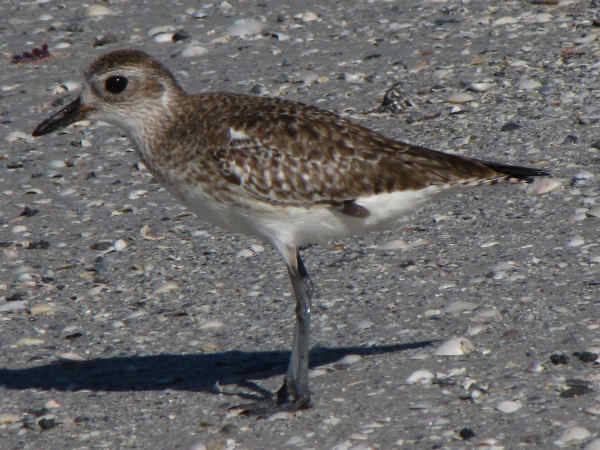 picture of a Black-bellied plover