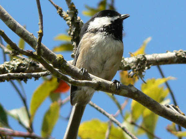 picture of a black-capped chickadee