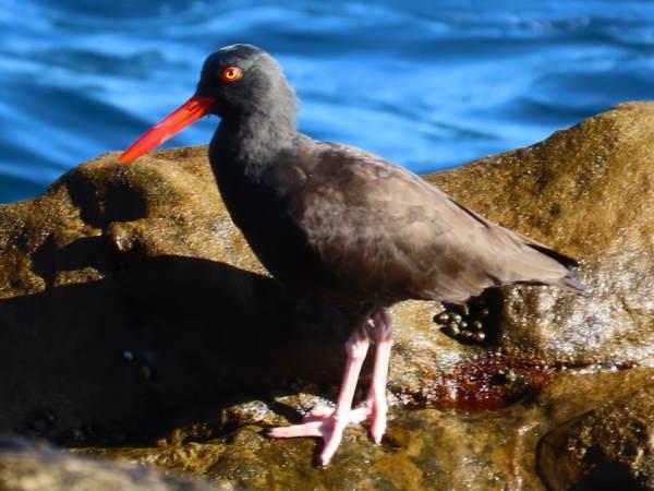 picture of a Black Oystercatcher, shorebirds