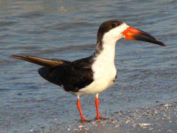 picture of a black skimmer