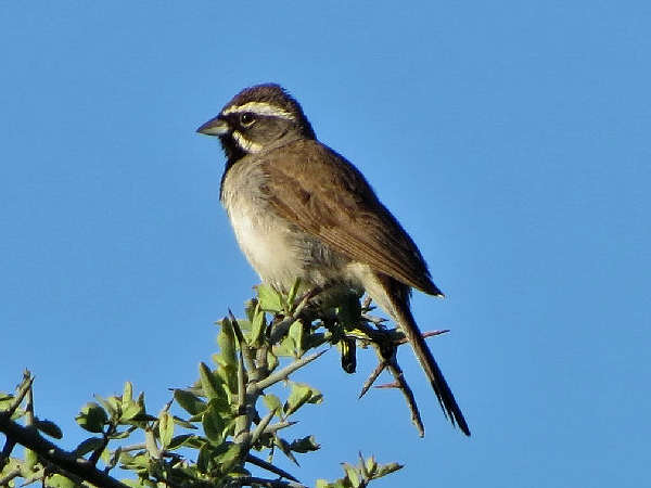picture of a Black-throated Sparrow