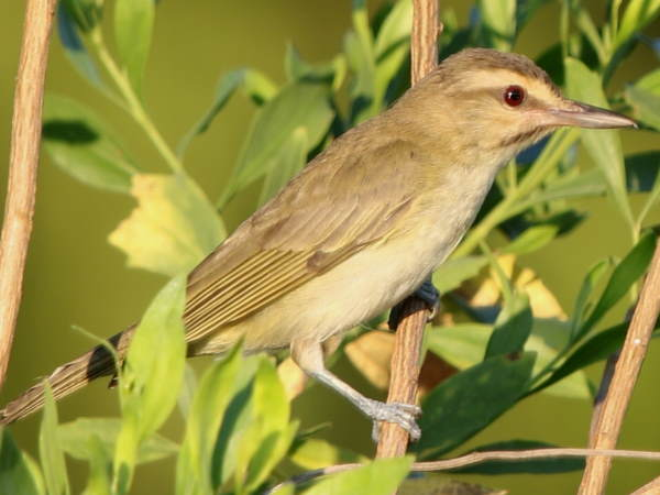 picture of a Black-whiskered Vireo
