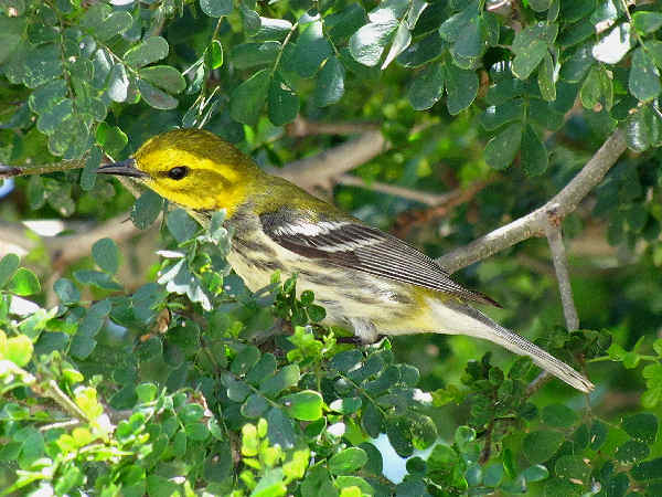 picture of a blackburnian warbler
