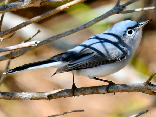picture of a Blue-gray Gnatcatcher