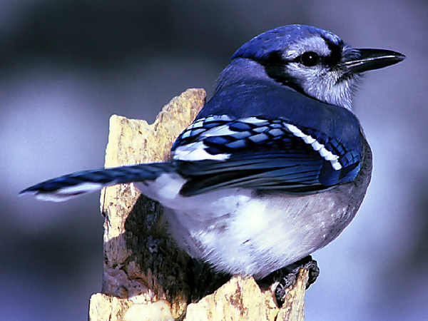 picture of a Blue Jay, a very common feeder bird in the Eastern United States