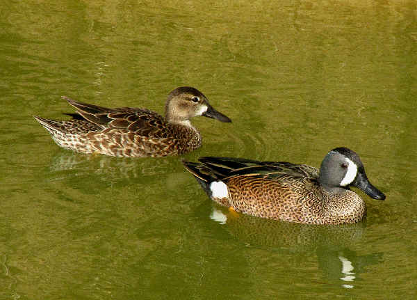 picture of a male and female Blue-winged teal ducks