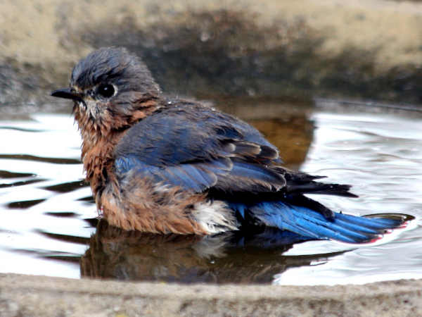 picture of a Bluebird taking a bath