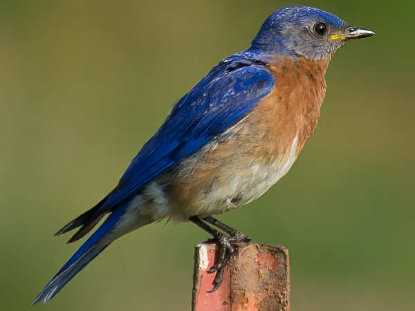 picture of a bluebird, the state bird of New York, and part of the New York birds series