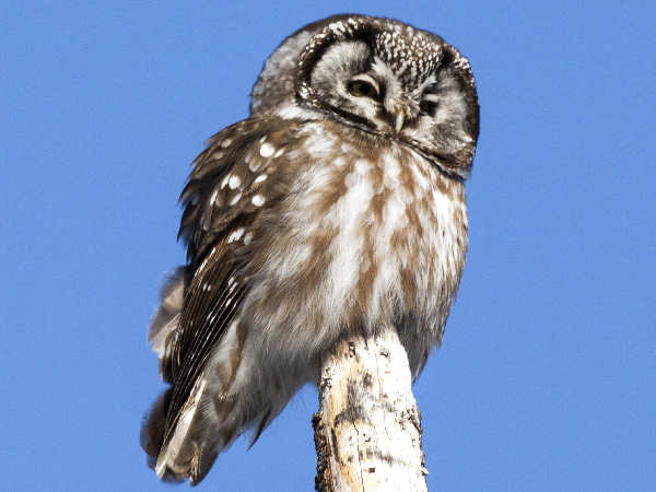 picture of a Boreal Owl