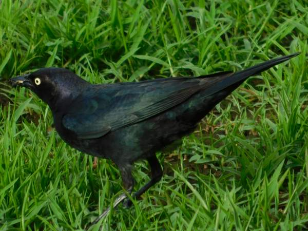 picture of a Brewer's Blackbird, types of blackbirds
