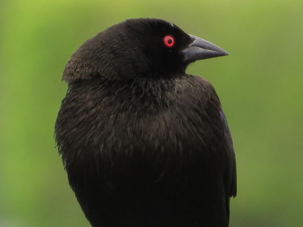 picture of a Bronzed Cowbird