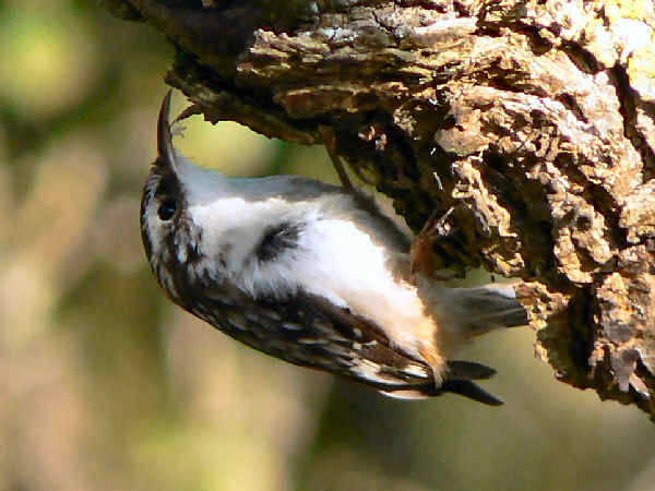 picture of a Brown Creeper