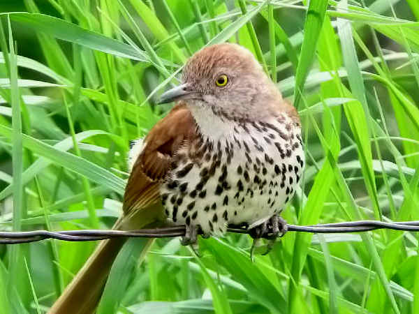 picture of a Brown Thrasher, the state bird of Georgia, and part of the Georgia birds section