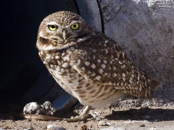 picture of a Burrowing Owl, Las Cruces