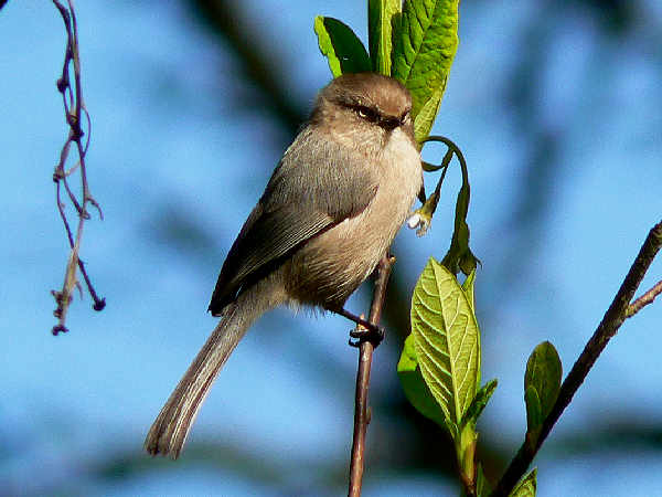 Picture of a Bushtit