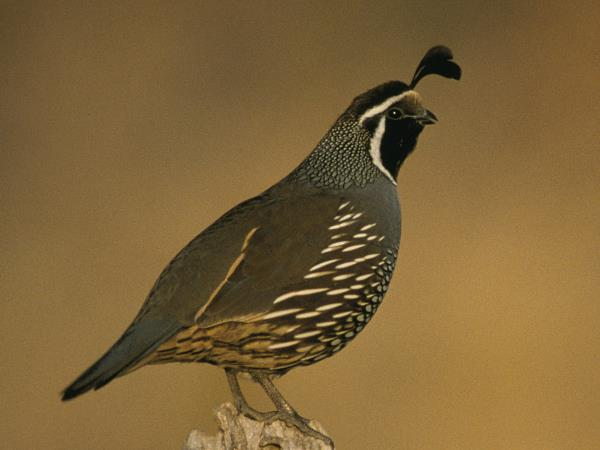 picture of a California Quail, the state bird of California, and part of the California birds section