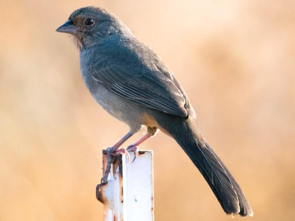 picture of a California Towhee