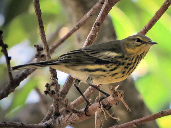 picture of a Cape May Warbler