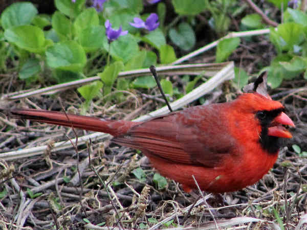 picture of a Cardinal, the state bird of Virginia, and part of the Virginia birds series