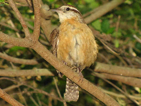 picture of a carolina wren