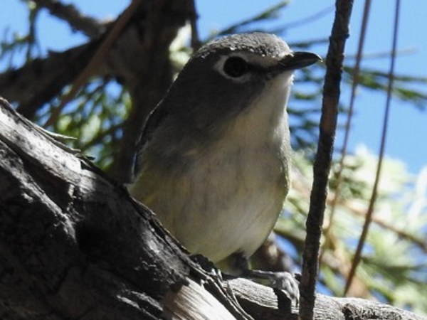 picture of a Cassin's Vireo