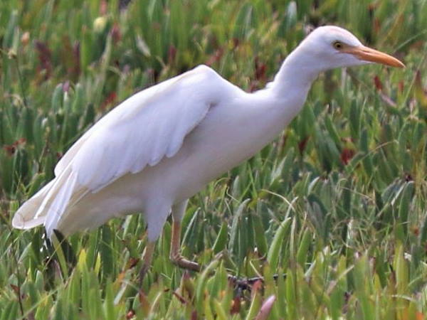 picture of a Cattle Egret