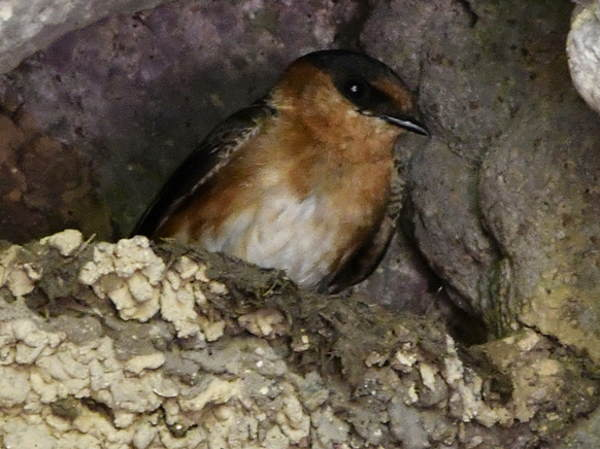 picture of a cave swallow