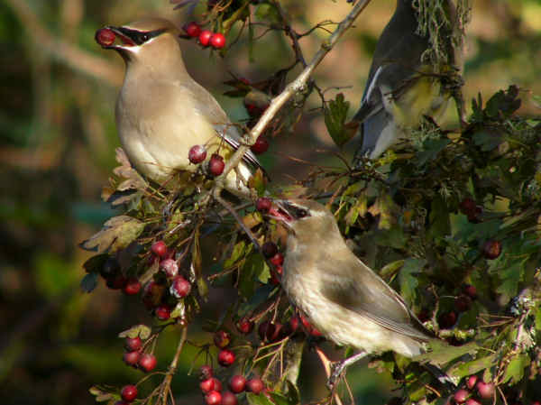 picture of a pair of Cedar Waxwings consuming berries on a tree