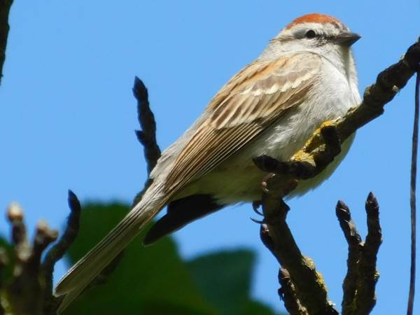 picture of a male Chipping sparrow