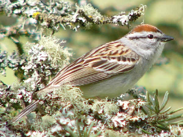 picture of a chipping sparrow at the feeder
