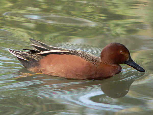 picture of a Cinnamon teal duck