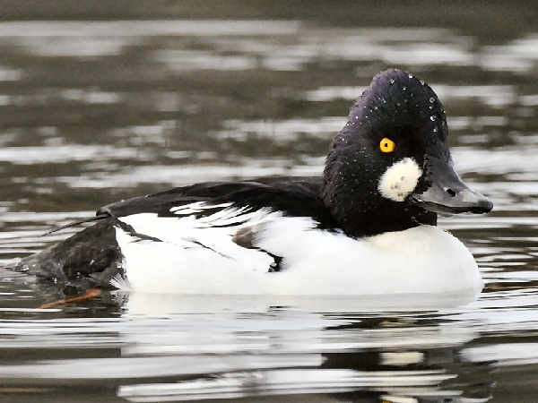 picture of a Common Goldeneye duck, types of ducks