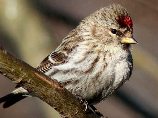 picture of a Common Redpoll