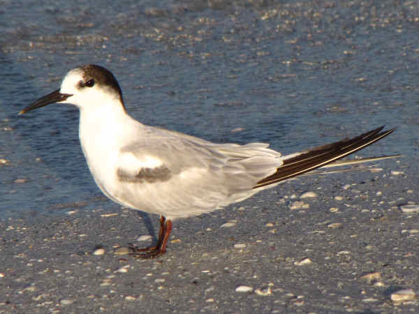 picture of a Common Tern