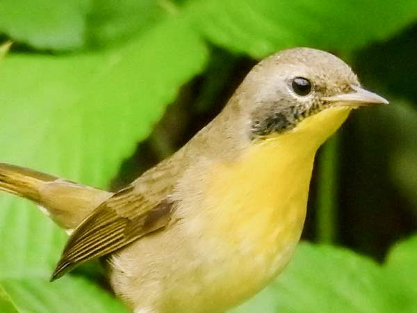 picture of a Common Yellowthroat